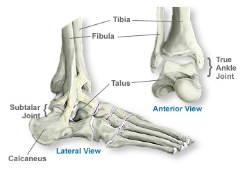scoi ankle anatomy of the ankle southern california orthopedic institute